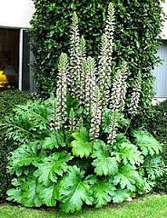 The Acanthus plant.