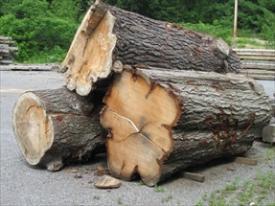 Impressive salvaged oak logs, though not white oak?